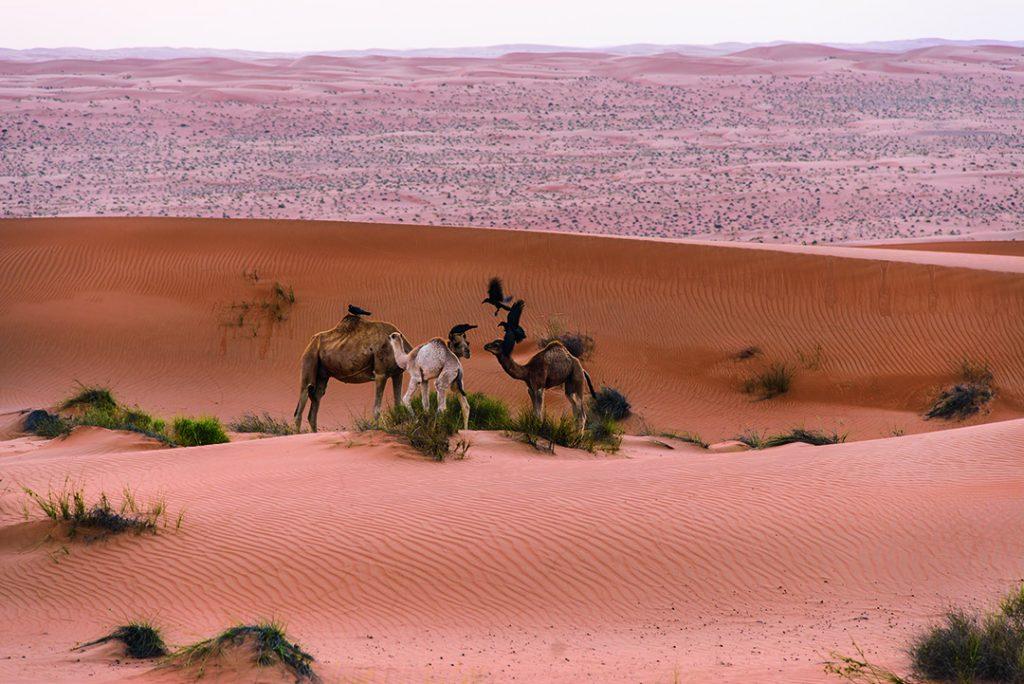 Krähen helfen einer soeben erwachten Kamelfamilie bei der Morgentoilette
