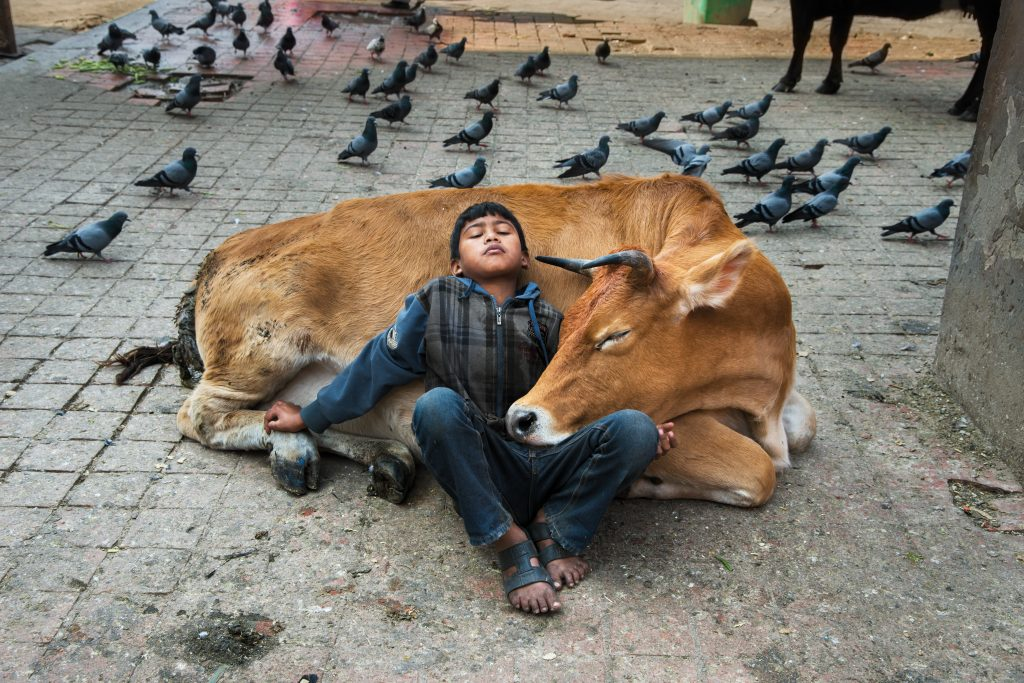 """DSC_5311; Kathmandu, Nepal; 2013, NEPAL-10121. CAPTION: Boy Rests Against a Cow. Kathmandu, Nepal, 2013. IG: Cows have been designated the national animal in Nepal. They roam freely, and are considered sacred by the 80% of Nepalis who are Hindu. 12/07/2015 - ARCHIVED 02/17/2017 - ARCHIVED IG Book Post: """"A Life in Pictures"""" is now available. It includes many unpublished images from my career, accompanied by written passages by my sister, Bonnie McCurry, who offers her unique perspective on my journey. Please follow the link in bio for more information on how to order. 11/20/2018 - ARCHIVED Retouched_Sonny Fabbri, Chris Cox, Sam Wallander, Morgan Shortell 04/30/2019 A Life in Pictures_Bonnie Book Final Select final print_Animals"""
