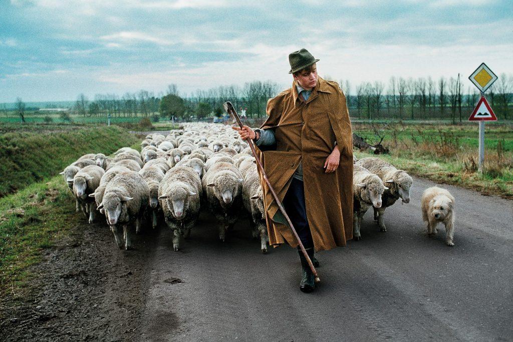 00748_18, Near Magdeburg, Germany; 1989, 1990, GERMANY-10028NF5. A man walks with a herd of sheep. IG 1/23/2019 (ARCHIVED): Shepherd walks with a herd of sheep near Magdeburg in former German Democratic Republic, DDR, 1989. Retouched_Emily Rogers, JJ Garfinkel, Sam Wallader, Scott Mclane, Morgan Shortell 04/29/2019